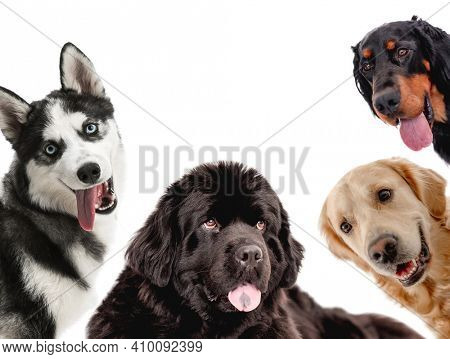 Collage with dogs looking on camera isolated on white background. Golden retriever newfoundland scottish setter husky portrait