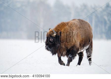 Wild Bison On Snowy Field. European Bison In Wild Nature. Huge Bull.