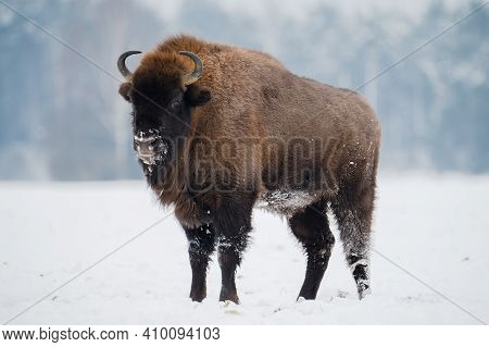 Wild Bison On A Snowy Field. Bull Fur Covered With Snow. European Bison In Wild Nature. Huge Bull In