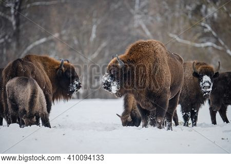 Bison With Horns And Clean Fur In Winter Time. Portrait Of Huge European Bull Bison Standing In Fron