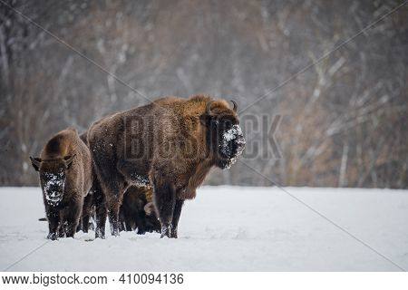 Wild Bisons In Winter. Group Of Young Bisons On Snowy Field.