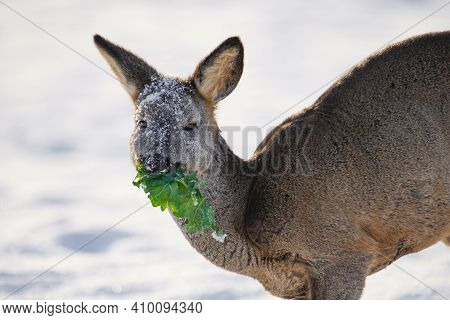 Roe Deer Eating Green Grass. Close-up Portrait Of Roe Deer In Winter Morning. Wildlife.