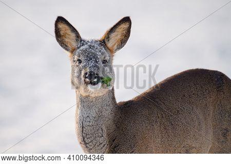 Roe Deer Portrait. Wild Roe Deer In Winter Sunny Day. Animals In Wildlife Nature.