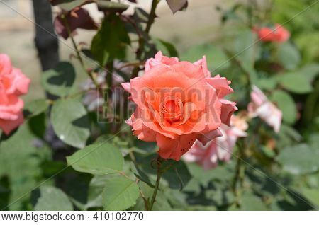 Beautiful Flower . Red, Pink With Orange Rose, One Blossom. Rose Petal In Close-up. Colored Rose In