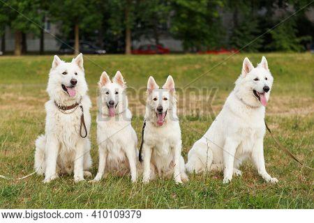 Four Beautiful White Swiss Shepherds