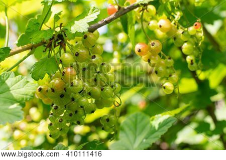 Unripe Green Currants On Berry Bush With Green Leaves At Spring Season. Sunlit By Bright Sunlight. H