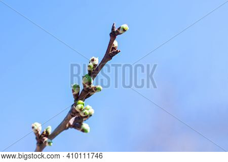Thin Twig Of Cherry Bush In Fruit Farm. Small Leaves In Burgeons Are Growing On Thin Cherry Twig