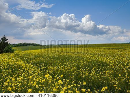 Spring Rapeseed Yellow Blooming Fields. Natural Seasonal, Good Weather, Climate, Eco, Farming, Count