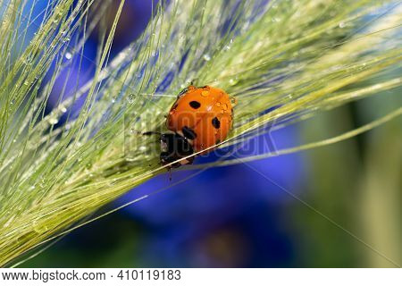 Backdrop Made Of Climbing Lady Bug On Wet Long Spica Grass With Tiny Water Droplets On Bright Sunlig