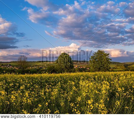 Spring Sunset Rapeseed Yellow Blooming Fields View, Blue Sky With Clouds In Evening Sunlight. Natura