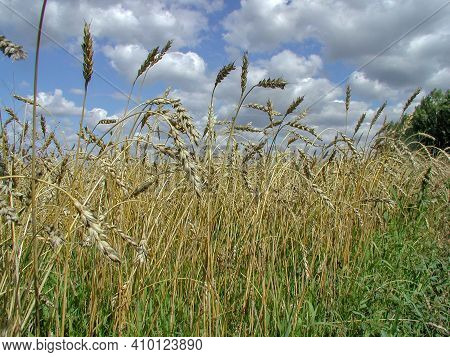 View Of A Spike Wheat Field Against A Background Of Blue Sky With White Clouds