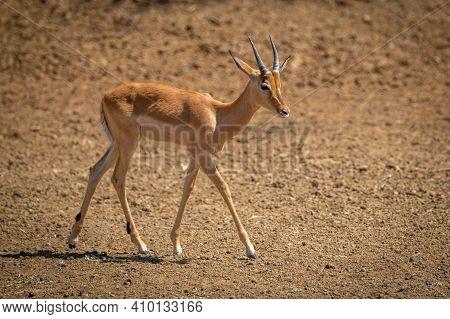 Young Male Common Impala Crosses Bare Earth