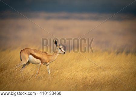 Young Springbok Walks Through Grass In Plain