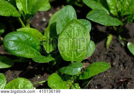Young Spinach Leaves Grow On The Ground. Growing Spinach In The Garden. Green Spinach Leaves Top Vie