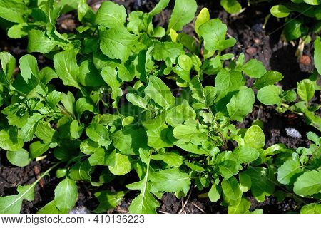 Green Leaves Of Arugula In The Garden, Top View. Growing Arugula Outdoors. Young Leaves Of Arugula G