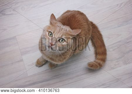 Portrait Of A Red Cat Looking Up Carefully. An Angry Red Cat Sitting On The Floor And Looking Up At
