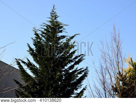 The Cypress Hybrid Grows Rapidly And Forms Beautiful Hedges Of Coniferous Gray, Green. Slim And Wide