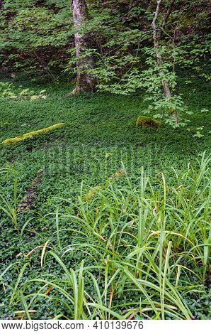 Ground Covers Fill A Glen In Robert Treman State Park, Tompkins County, New York