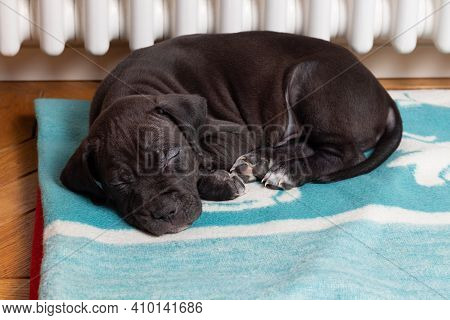 American Pit Bull Terrier Puppy Sleeps Lying On A Soft Bed Near A Warm Radiator. Dog Near The Heatin