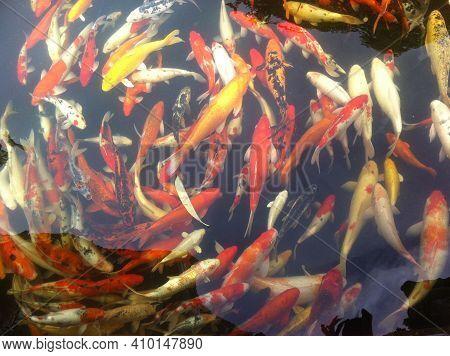 Natural Background, Aquarium Close Up. Vibrant Colorful Japanese Koi Carp Fish Swimming In Tradition
