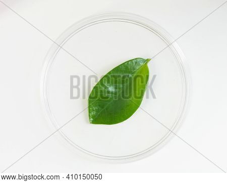 Herbal Pharmacology And Microbiology Concept. Green Leaf In Petri Dish On Desk. Organic Chemistry La