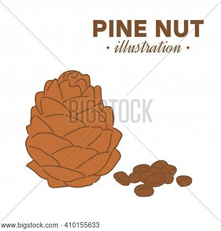 Hand Drawn Pine Nut In Color. Single, Group Seeds, Pine Nut In Nutshells Group. Organic Nut, Vector