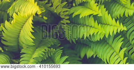 Fern Leaves Banner. Green Fern Plants In Nature Landscape. Fern Plants In Forest. Fresh Green Tropic