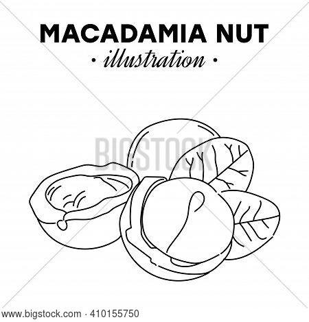 Hand Drawn Macadamia Nut. Single, Group Seeds, Macadamia Nut In Nutshells Group. Organic Nut, Vector