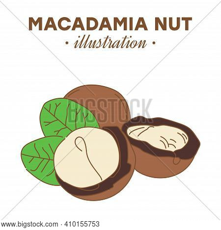 Hand Drawn Macadamia Nut In Color. Single, Group Seeds, Macadamia Nut In Nutshells Group. Organic Nu