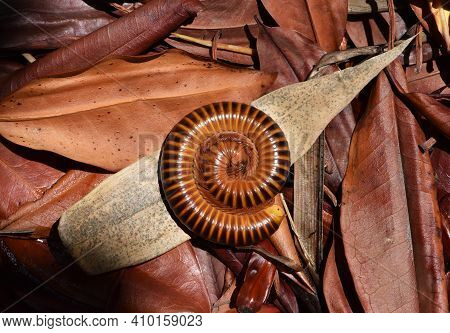 Asian Giant Millipede Roll Body On Old Leaves