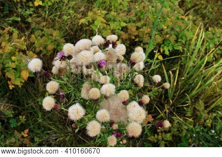 White-yellow Fluffy Wild Flowers With Lilac Buds Grow As A Bush In A Meadow In The Grass, Some Flowe