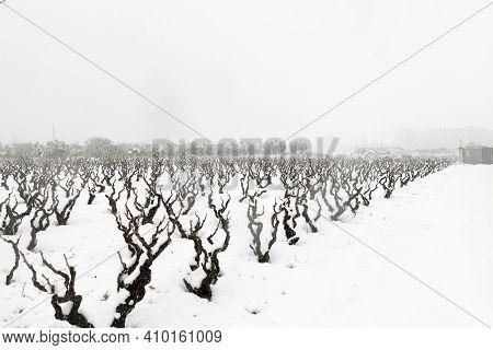 Beautiful Vineyard Variety Is Primitivo Di Manduria, Growing In Puglia In Winter Under Snow, Rural A