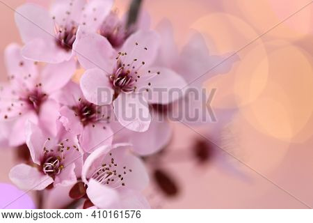 Cherry Blossoms In Springtime. Cherry Pink Flowers In On A Blurred Pink Background. Spring Delicate