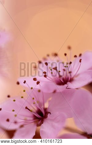 Cherry Blossoms In Springtime. Cherry Pink Flowers In Close-up . Spring Delicate Flower Background I