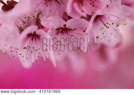 Cherry Blossoms In Springtime. Cherry Pink Flowers In Close-up On A Pink Background. Spring Delicate