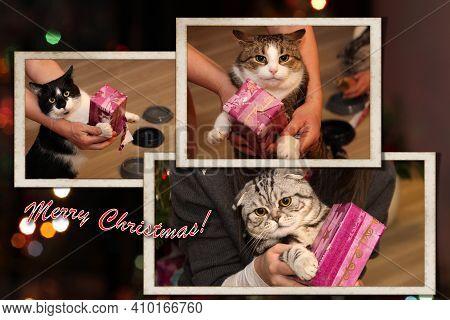 Postcard - Merry Christmas. Beautiful Cats Get Christmas Presents.