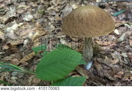 Mushroom Birch Bolete, Leccinum, In The Forest, Shallow Dof