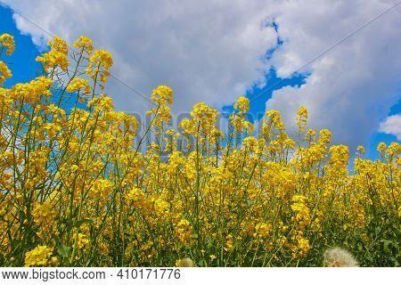 Rapeseed Flowers On Sky Background, A Field With Flowering Yellow Oilseed Rapeseed