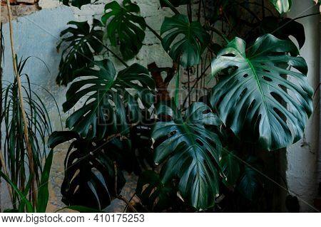 Monstera. Greens. Large Monstera Leaves Natural, Nature, Plant