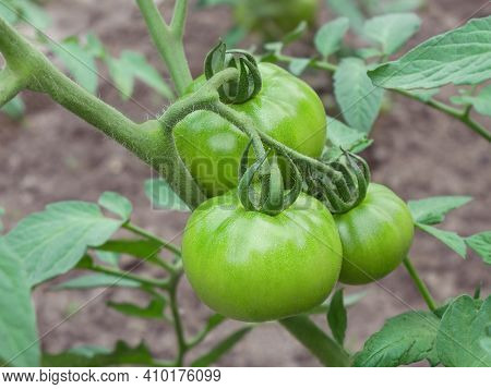 Three Big Green Tomato Unripe Fruits Growing In Soil And Ripening Outdoors In Garden At Summertime