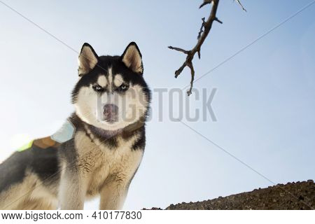 Portrait Of Black And White Siberian Husky On The Background Of Sky. Beautiful Siberian Husky Dog.
