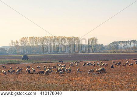 Sheeps Grazing In The Company Of A Shepherd. Herd Grazing With A Shepherd. Sheep Grazing In The Fiel