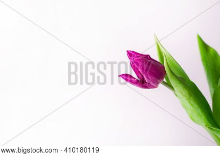 A Bouquet Of Lilac Tulips In A Vase . Bouquet Of Tulips. Flowers In A Vase. A Greeting Card. Delicat