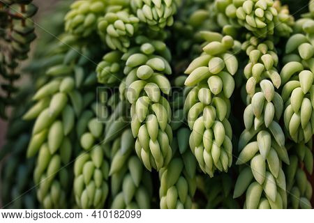 Close-up Of Sedum Morganianum, Donkey Tail Or Burros Tail, Succulent Plant. Macro Photography Of Nat