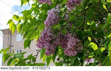 Lilac Blossom Flowers Spring View. Spring Lilac Flowers. Lilac Blooms. A Beautiful Bunch Of Lilac