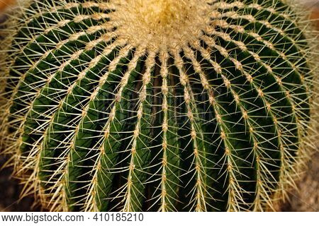 Close-up Of Big Golden Barrel Cactus With Sharp Spines. Popularly Known As Mother-in-laws Cushion Ca