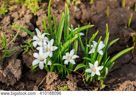 White Glory-of-the-snow (chionodoxa Luciliae) Flowers On Spring