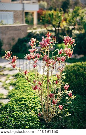 A Young, Blooming Magnolia Tree In The Garden With Red Blossoms In Full Bloom.