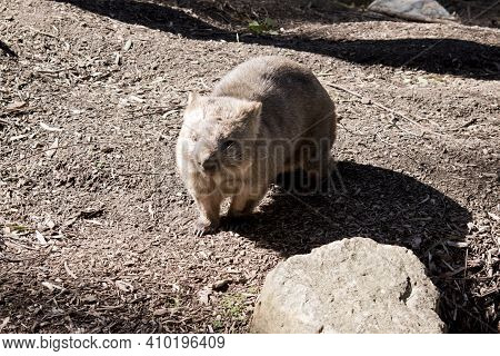 The Common Wombat Is Brown With Whiskers And Brown Eyes