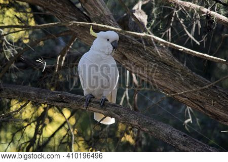 The Sulphur Crested Cockatoo Is A White Bird With A Yellow Crest